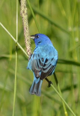 Photo of Indigo Bunting Bet Crooks