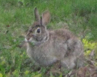 Photo of Eastern Cottontail