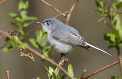 Photo of Blue Grey Gnatcatcher 2014 On NaturalCrooksDotCom