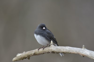 darkeyedjunco_dsc0091